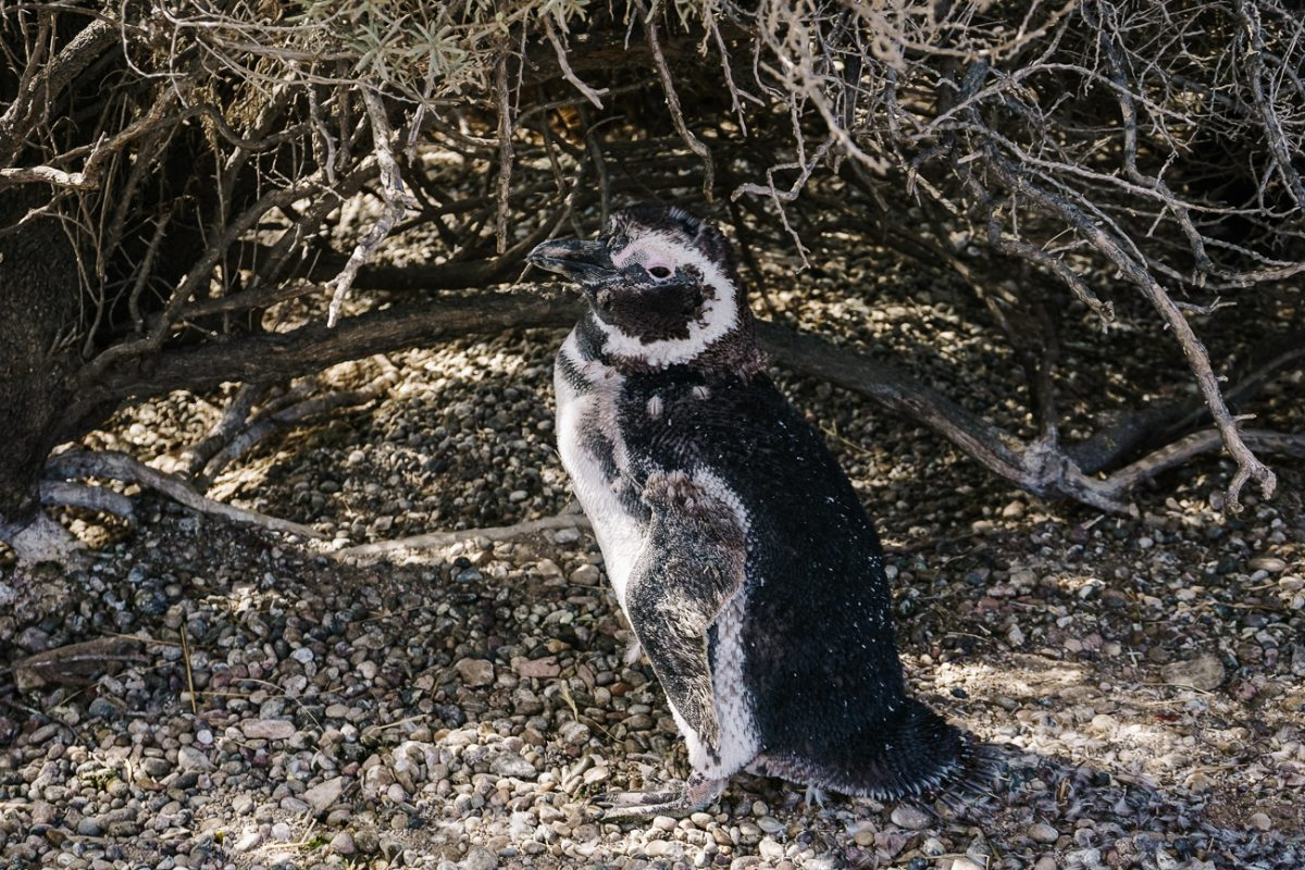 Things to do in Puerto Madryn penguins