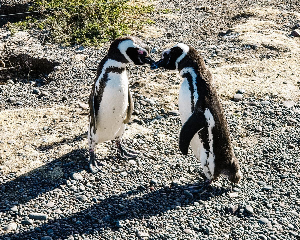 Things to do in Puerto Madryn   Puerto Madryn penguins