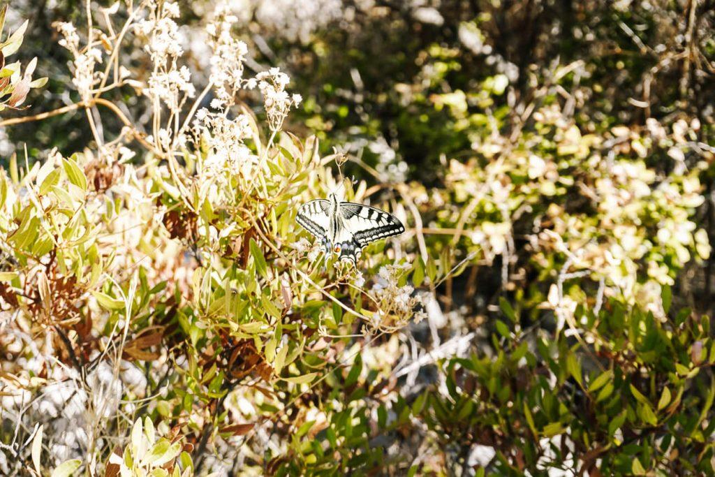 vlinder tijdens wandeling nnaar Glavica heuvel Stari Grad, Hvar Kroatie