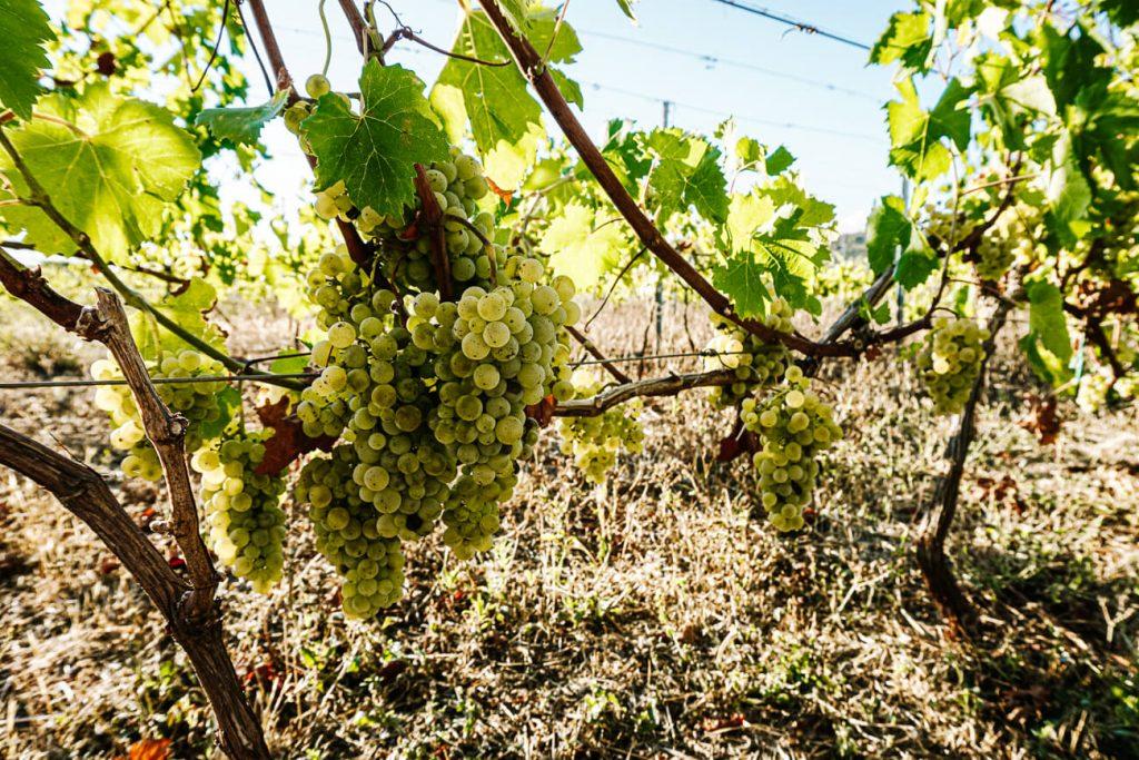 druiven op wijngaarde Hora Stari Grad, een excursie tijdens Sail Croatia cruise in Kroatie