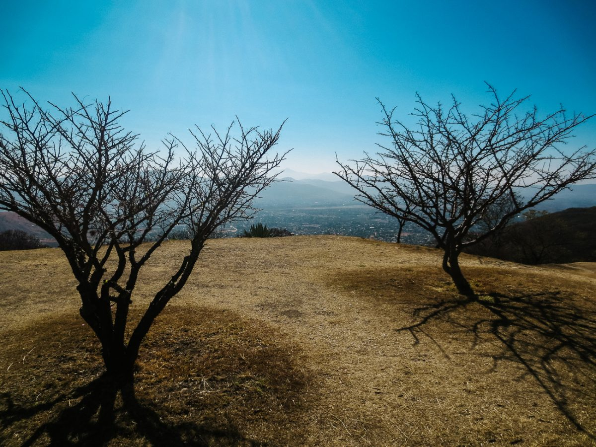 Cazahuate tree