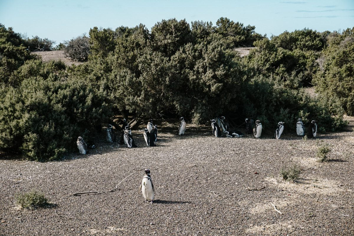 Puerto Madryn penguins in Punta Tombo