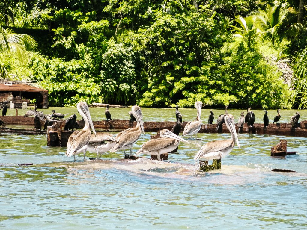 Guatemala travel tips for the Caribbean coast - pelicans in Rio Dulce