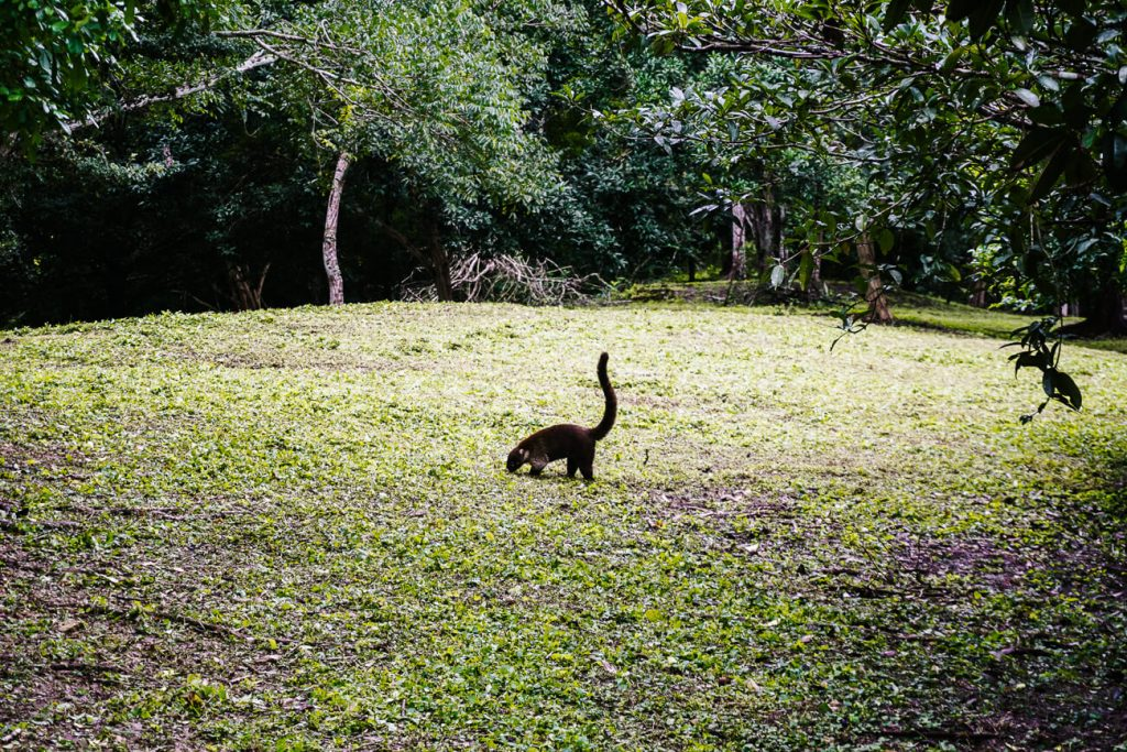 pisote in Tikal