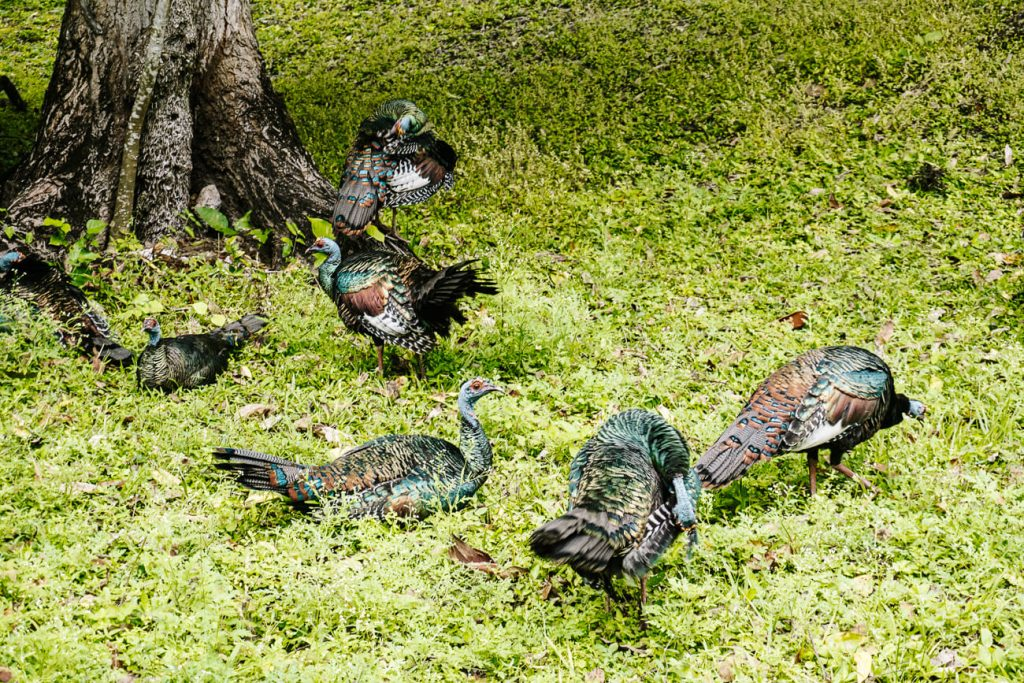 ocellated turkeys