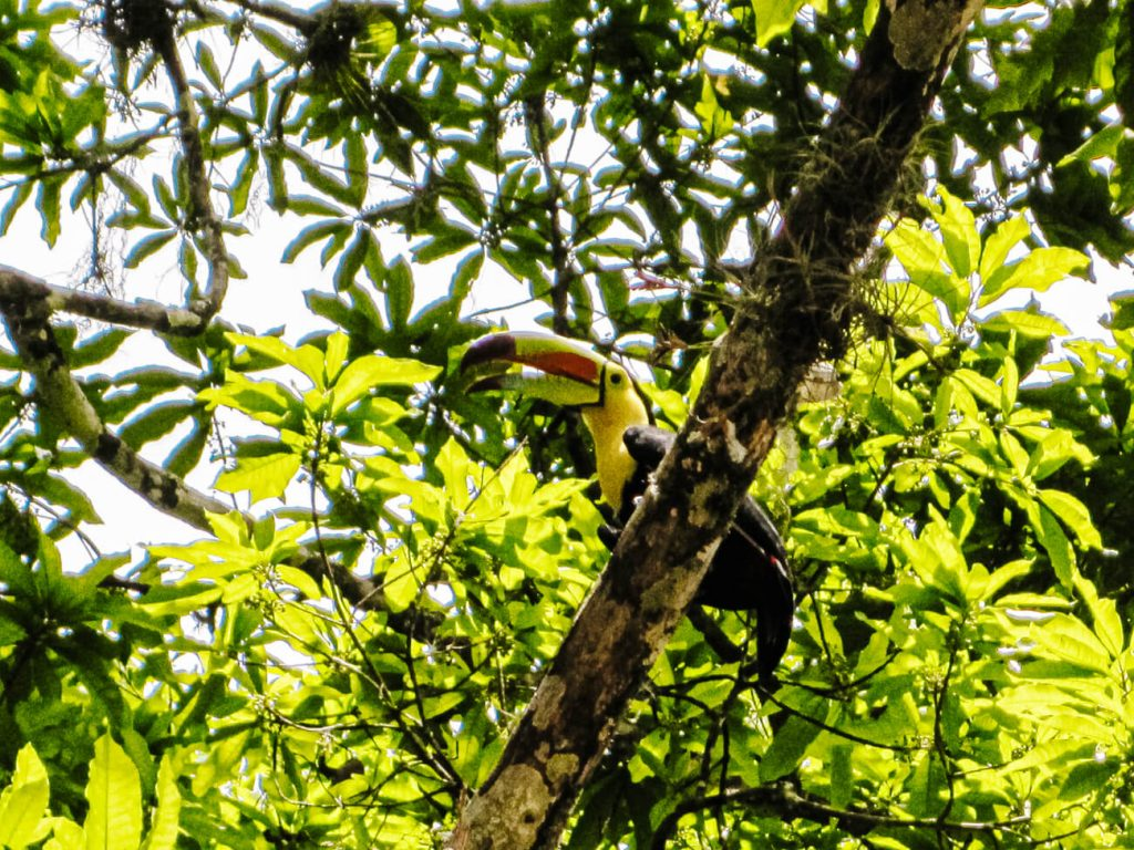 toekan in Tikal Guatemala